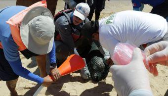 Profepa integra grupo de atención a lobos marinos en Cabo San Lucas