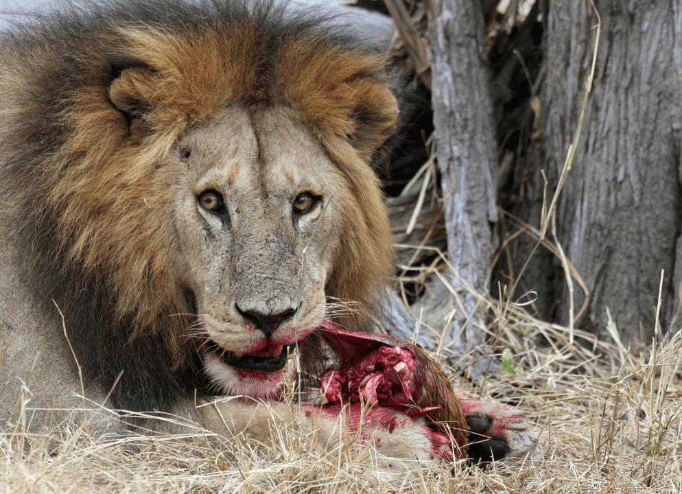 Leones comen tres cazadores mutilar a rinocerontes