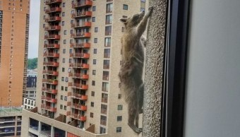 Mapache escapa sus captores escalando edificio 25 pisos Minnesota