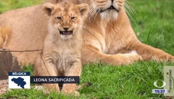 Matan Leona Escapó Zoológico Bruselas Plackendael