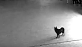 Perro Ayuda A Ladrones, Perro Coopera Con Criminales, Perro Ladrón, Rusia, Perro, Robo, Video