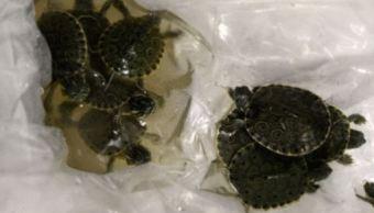 Policía Federal asegura en Chihuahua paquete con tortugas