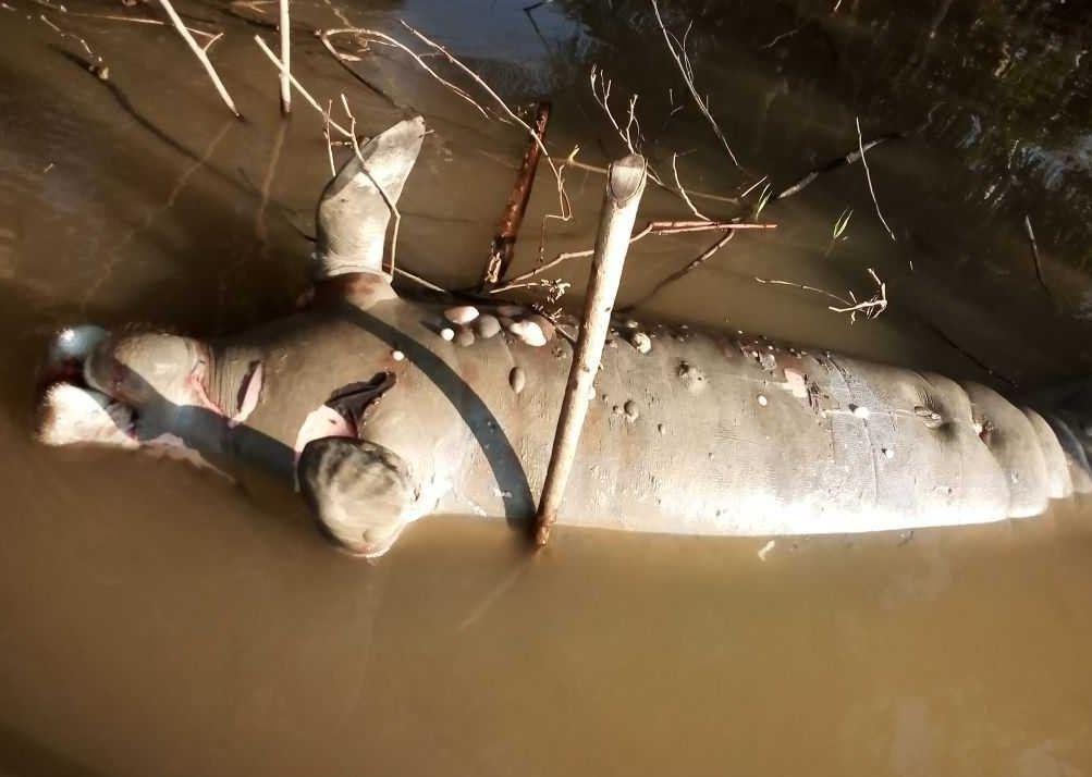 Hallan manatí muerto en Biosfera Pantanos de Centla, Tabasco