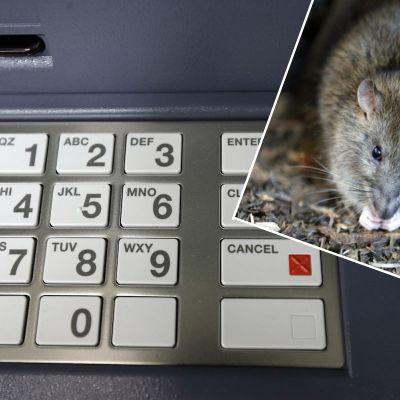 Ratas se meten a cajero automático y se comen más de 350 mil pesos en billetes
