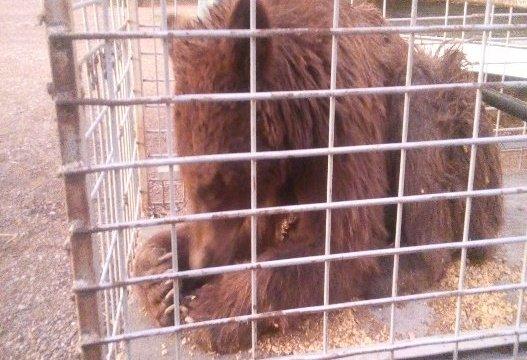 Rescata Profepa ejemplar de oso negro en Guerrero