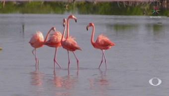 Aumenta población de flamencos en Yucatán