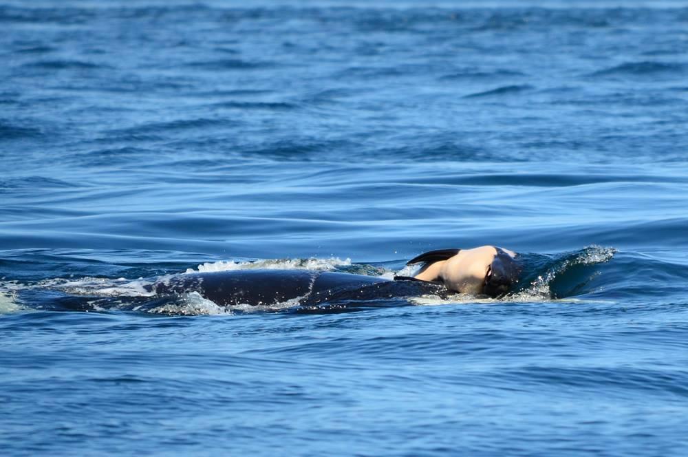 Orca arrastra a su bebé muerto en señal de luto