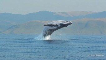Video Ballena Saltando Del Agua, Ballena Salta Del Agua Sudáfrica, Ballena Jorobada, Sudáfrica, Delfines, Tiburones Blancos