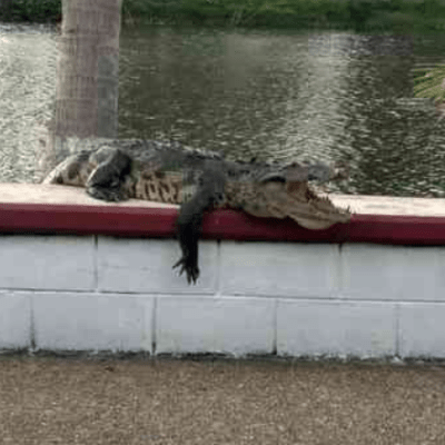 Cocodrilo sorprende a visitantes de laguna La Alameda, en Coatzacoalcos