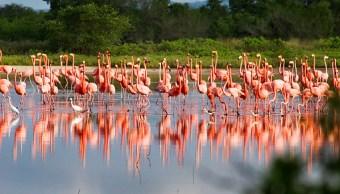 Reportan aumento histórico población flamencos Yucatán
