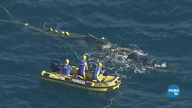 Hacen equipo para salvar a una ballena