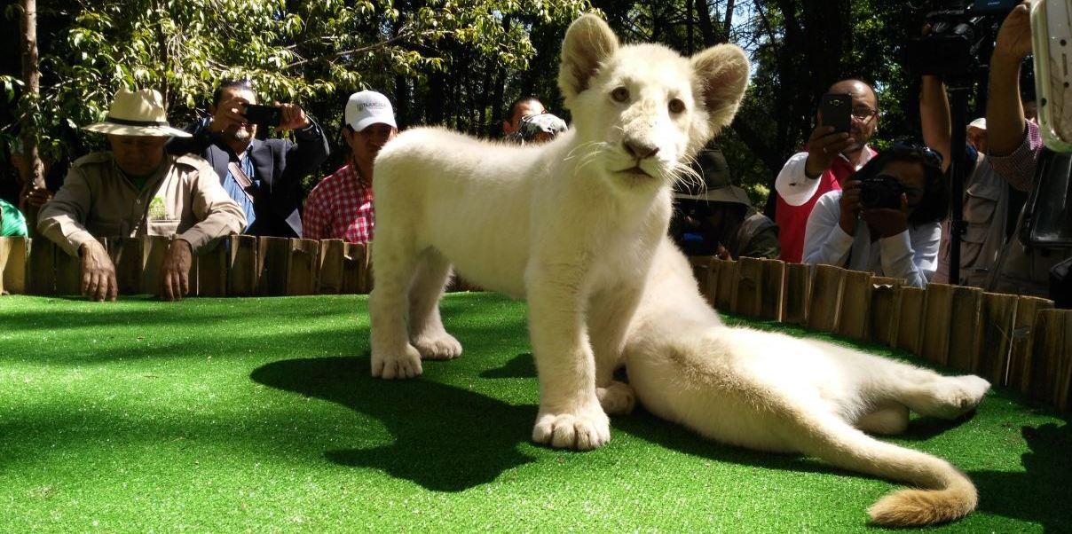 presentan dos leones blancos nacidos zoologico tlaxcala