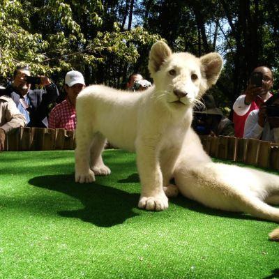 Presentan a dos leones blancos nacidos en zoológico de Tlaxcala