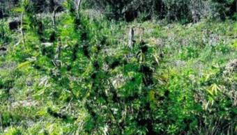 Destruyen plantío de marihuana en Tequila, Jalisco