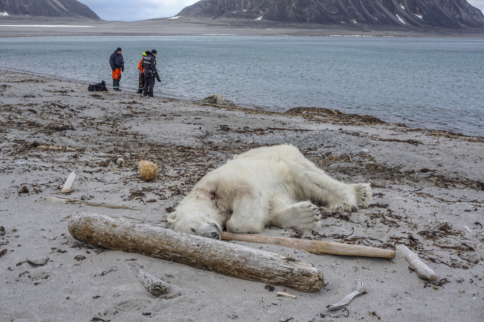 Matan a un oso polar que atacó a un guía turístico