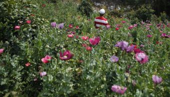 México ocupa tercer lugar mundial en siembra de amapola