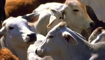 México vende 9 mil hembras de ganado cebú a Cuba