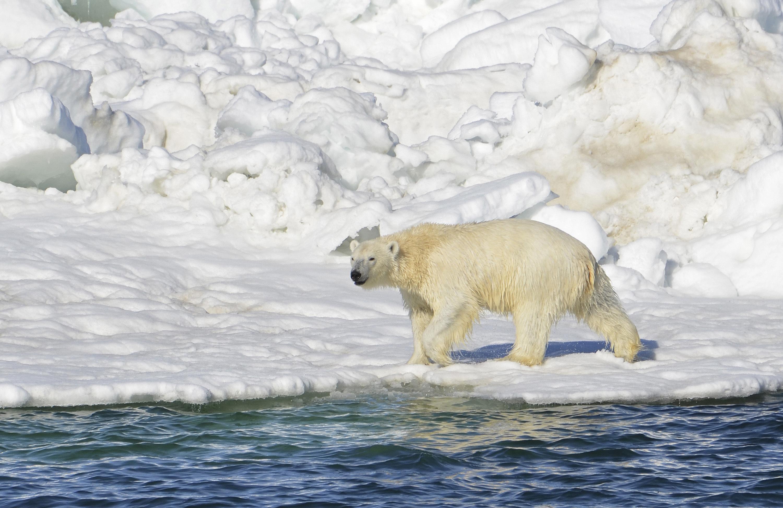 Hombre enfrenta a oso polar para salvar a sus hijos