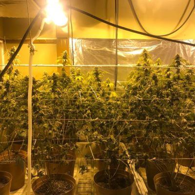 Aseguran 256 plantas de marihuana en invernadero instalado en vivienda en Tijuana