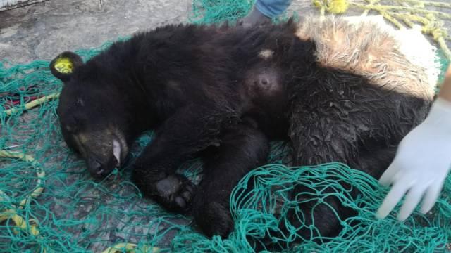 Profepa rescata y libera a oso negro y sus dos crías