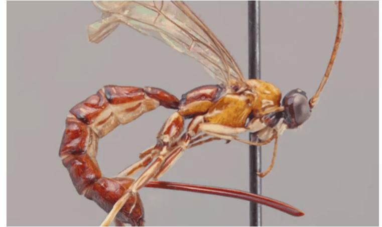 Descubren nueva especie de avispa que inyecta huevos al picar