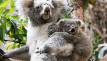 Científicos en Australia descifran el genoma de los koalas