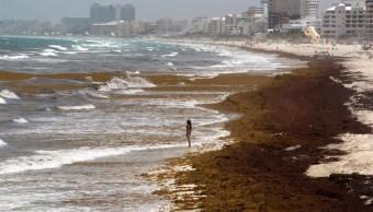 EU monitorea arribazón de sargazo en el Atlántico