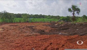 Agricultores Utilizan Sargazo Como Fertilizante Siembra