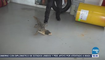 Atrapan Lagarto Buscaba Entrar Casa Chihuahua