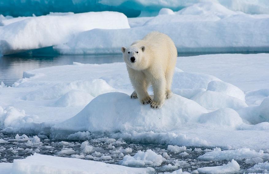 Aumentan cuota cacería osos polares región rusa Chukotka