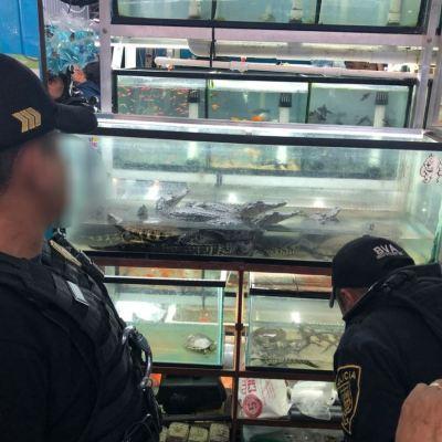 Decomisan iguanas, tortugas y cocodrilos en mercado de la colonia Morelos, CDMX