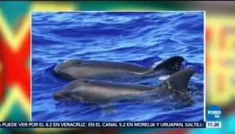 Extra Extra, El Reporñero Descubren Primera Ballena Delfín Grupo De Científicos Costas De Hawái