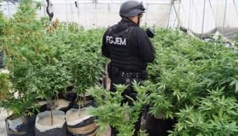 Aseguran invernadero de marihuana en el Estado de México
