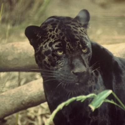 Video: Cámara escondida en la selva capta un raro ejemplar del jaguar negro