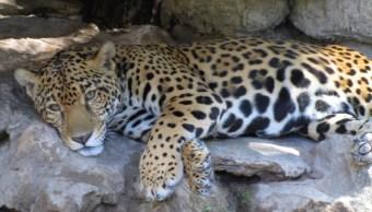 Aumenta población de jaguar en la biosfera Los Petenes, Campeche