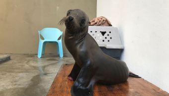 Lobo marino es reintegrado a hábitat en Baja California Sur