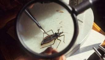 Mal de Chagas en Yucatán; reportan 500 casos