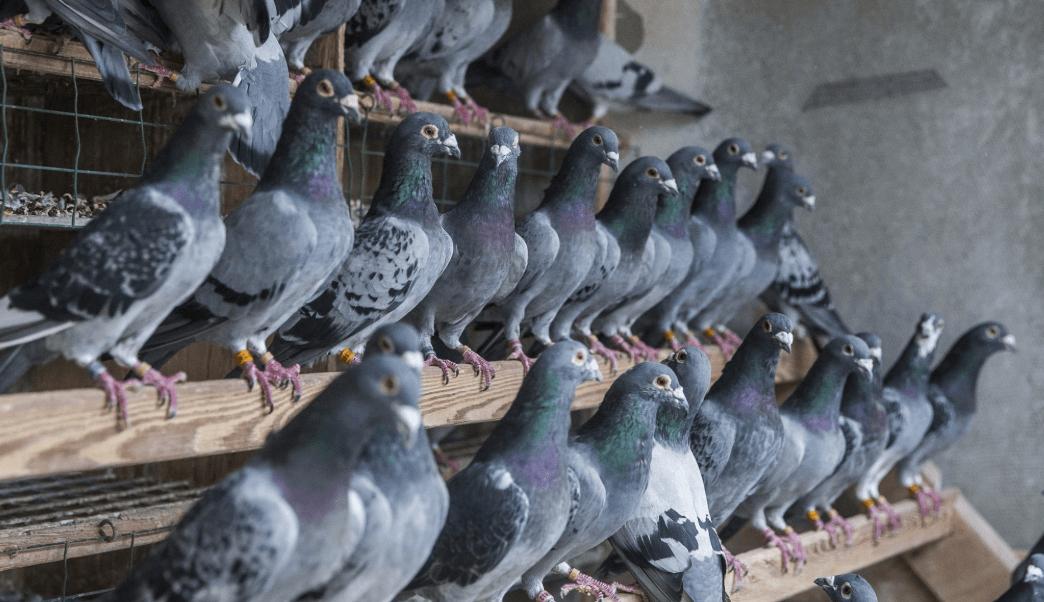 Cuatro palomas ganan carrera viajando en tren, en China