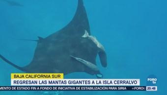 Regresan Mantas Gigantes Isla Cerralvo BCS