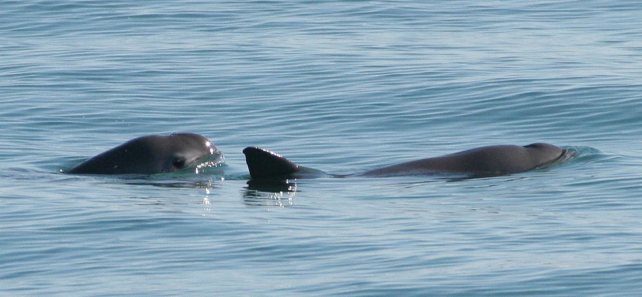 vaquita-marina-trafico-ilegal