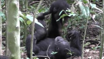 video-conmueve-chimpance-que-juega-al-avioncito-con-su-cria