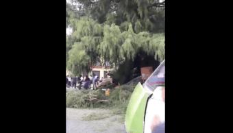 Árbol Ahuehuete Xochimilco Ciudad México Cayó