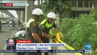 Autoridades de Naucalpan aseguran plantas de marihuana
