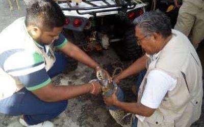 Profepa reintegra en su hábitat a cocodrilo capturado en playa de Acapulco, Guerrero