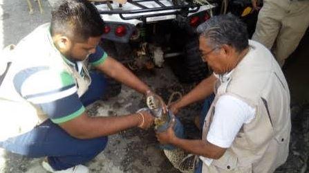 Profepa reintegra en su hábitat a cocodrilo capturado en playa de Acapulco