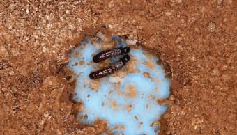 Sociedad de termitas que sobrevive sin machos
