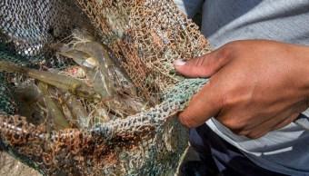 Levantan veda de camarón en Sonora