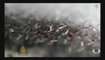 Edición Genética Elimina Población Mosquitos Transmisores Malaria