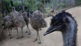 VIDEO: Hombre graba cuando atropella a grupo de emúes