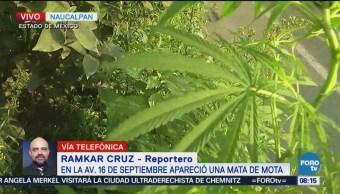 Encuentran planta de marihuana en Periférico
